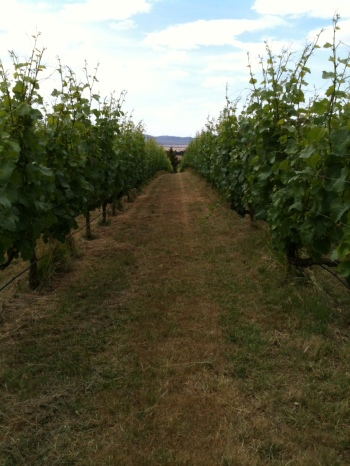 This shows the uniformity of growth in our vineyard. To have a balanced wine, you need a balanced vine!