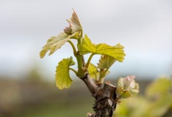 Pinot Gris week 1