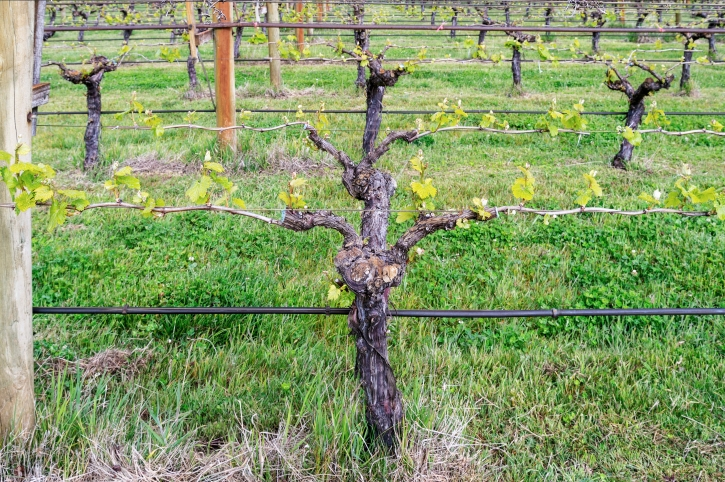 93 Chardonnay Week 1