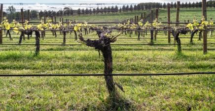 98 Pinot Noir Week 1